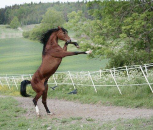 häst kuk