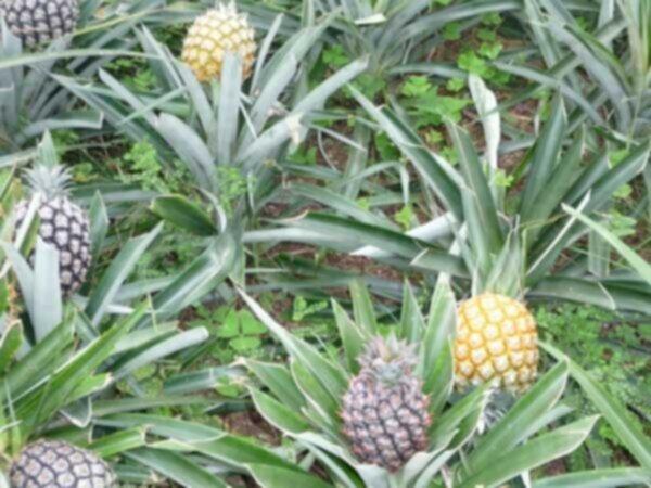 vad växer ananas på