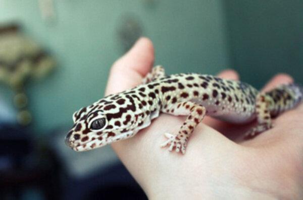 En Geckoödla Som Heter Gecko Style